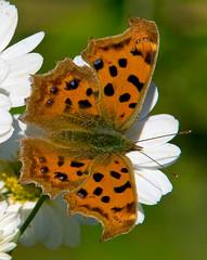 Asian Comma On Flower, Polygonia c-areum,  (aeschylus18917) Tags: macro nature japan butterfly insect nikon g lepidoptera micro  saitama nikkor f28 vr comma saitamaken koma 105mm insecta  105mmf28 nymphalidae iruma polygonia  motokaji papilionoidea nymphalinae 105mmf28gvrmicro 200400mmf4gvr saitamaprefecture irumashi  asiancomma  d700 nymphalini nikkor105mmf28gvrmicro   danielruyle aeschylus18917 danruyle druyle    hann hannshi 200400mmf40gvr polygoniacareum
