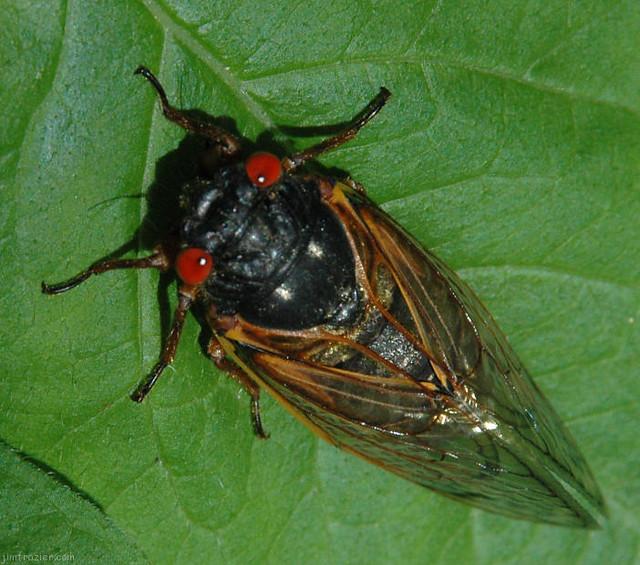 My LAST Cicada Picture