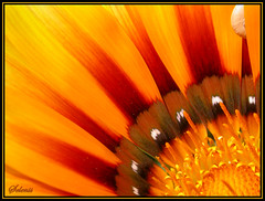 Fogo . Fire (selenis) Tags: orange flower macro beautiful yellow fire close laranja flor amarelo fogo theeye naturesfinest fantasticflowers flowerotica specnature 1on1flowers 25faves abigfave colorphotoaward youvegottheeye