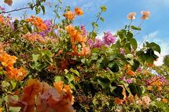 minha (crisinha schmidt dessoy) Tags: flowers flores cores laranja jardim alagoas divertido colorido minhavida pontaldocoruripe muitascores manycolous