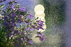 mother nature sparkles (LN Ellen) Tags: flowers macro water explore lobelia ln naturesfinest blueribbonwinner anawesomeshot