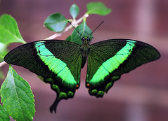 Butterfly Glow (` Toshio ') Tags: flowers macro green gardens butterfly insect petals wings maryland wheaton brooksidegardens toshio wingsoffancy anawesomeshot superhearts