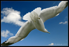 Fly By (Jill's Junk) Tags: seagull bird sky flying jillsjunk impressedbeauty diamondclassphotographer searchthebest agradephoto blueribbonwinner outstandingshots bravo goldenphotographer specanimal animalkingdomelite magicdonkey frhwofavs flickrplatinum flickrextraordinarycapture flickrsbest specanimals supershot infinitestyle naturesfinest anawesomeshot splendiferous photostosmileabout excellentphotographeraward flickrelite eye mywinners ultimateshot explorepage flickrgold supremeanimalphotos picturefantastic fab excellenceinavianphotography goldenstars topteninterestingness specnature i500 interestingness1 explore220707 infinestyle thegoldenmermaid supershots incomparableworks naturewatcher dumbass fake ontario canada