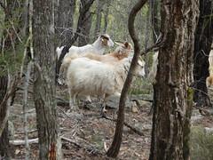 Goats 8 (Cowboy Dave) Tags: panasonic goats handheld tz1