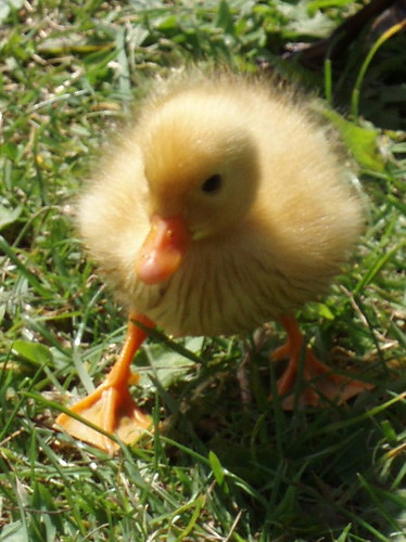 widdle duckling
