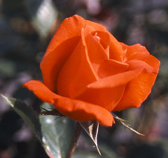 Scarlet rose (andrew boatswain) Tags: red flower rose scarlet gardenflower scarletrose cmwd cmwdred