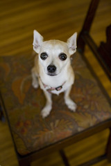 Tapestry (Angela.) Tags: dog chihuahua digital canon rebel chair raw lulu canonef35mmf2 tapestry laurenshouse xti dinigroom 400d canondigitalrebelxti
