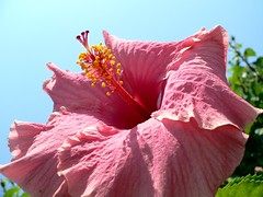 Pink Hibiscus on the sky (Luigi Strano) Tags: flowers flores fleurs flor blumen hibiscus hibiscusrosasinensis fiori blommor bungabunga maua hibiskus bloemen blomster bulaklak hoa flors çiçekler flori λουλούδια květiny naturesfinest цветы geles lule virágok blom kukat fior cvijeće lilled blomme viragok цветя цвеќе ziedi цвеће квіти hibiscuswonder schedebotaniche botanicalnotes kbetki kuety