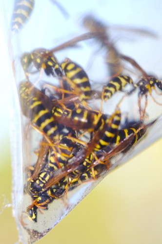 Wasps in Bag Close Up