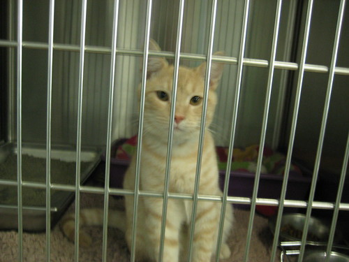Washington Humane Society cat adoption. Bentley hasn't had the easiest life,