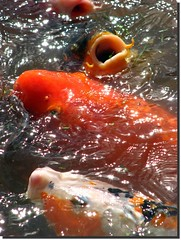 Feed us!!! don't just shoot! ~ Koi Carp Fishes ( Popotito ) Tags: city orange naturaleza white lake fish pez color eye primavera blanco southamerica nature water argentina beautiful mouth season outdoors ojo photography japanese photo spring fantastic pond agua buenosaires colorful colours foto photographer exterior peces ciudad oleaje colores lindo estacion koi carp ripples laguna pescado lovely fotografia fishes boca naranja soe japones japanesegardens marvelous fantastico fotografo sudamerica fotografa anaranjado poze jardinjapones colorido southernhemisphere precioso koicarp capitalfederal maravilloso hemisferiosur anawesomeshot olitas frhwofavs popotito pozeta