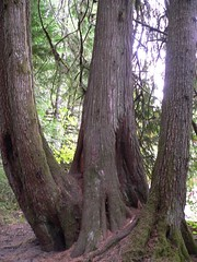 Three trees in one clump