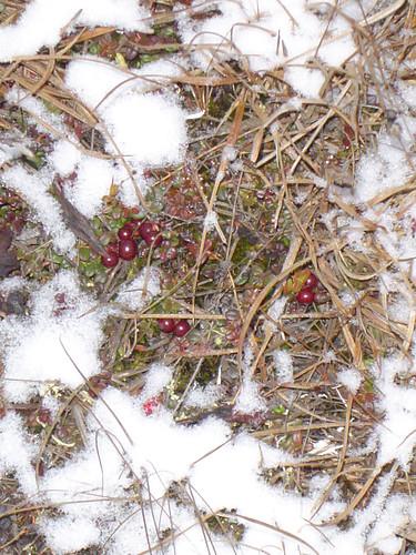 Frozen Berries3