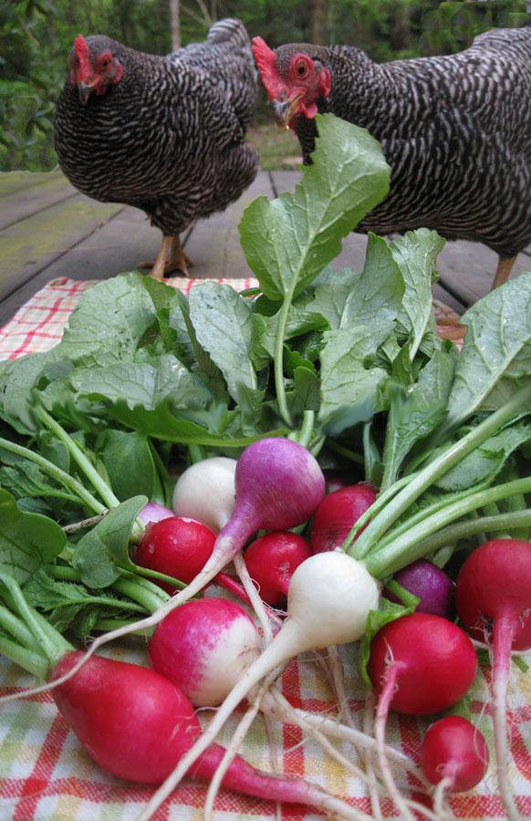 hens-and-radish