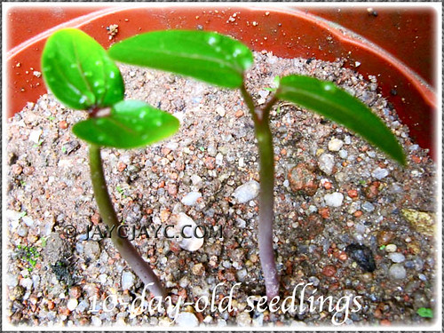 10-day-old seedlings of Jatropha podagrica (Buddha Belly Plant, Gout Stick, Gouty Stalk, Purging Nut) in our garden