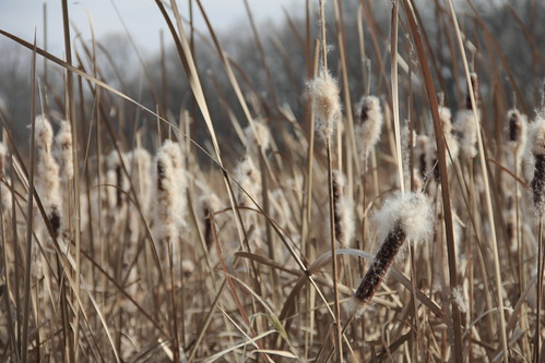 Broadleaf Cattail (Typha latifolia) with fall-blooming fuzz at Lincoln Marsh, November 2010