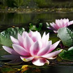 Waterlily (siebe ) Tags: flower holland dutch waterlily nederland thenetherlands bloemen waterlelie