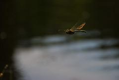 Dragonfly in flight