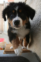 dog mountain puppy bernese