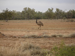 Roadrunner emu2