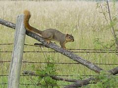 Squirrel (Misty DawnS) Tags: brown nature animal squirrel critter missouri
