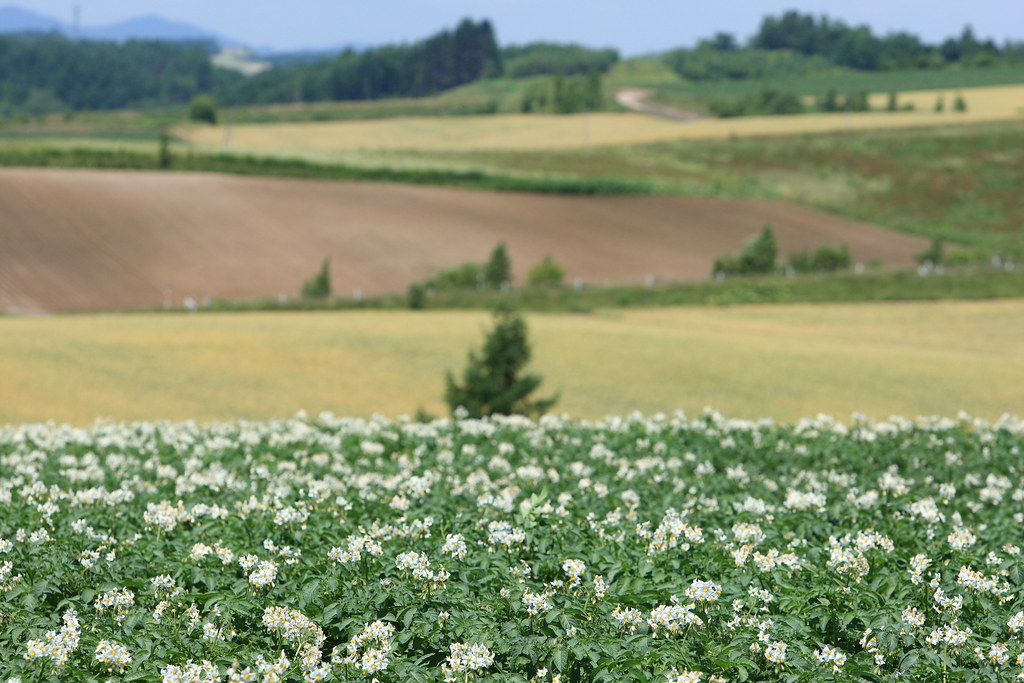 The flowers of potatoes and patches on the hills