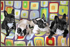 Frenchies are POP (www.saramusico.com) Tags: four 4 shapes pop frenchie frenchbulldog salamanca formas ngeles bulldogfrances bermellar saramusico smushedfaceddog