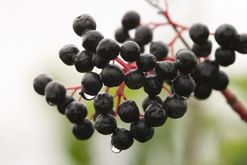 Black Coloured Berries with Rain Drops