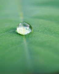 One drop (tanakawho) Tags: shadow plant macro reflection green texture nature water leaf shiny waterdrop drop line shape mywinners tanakawho