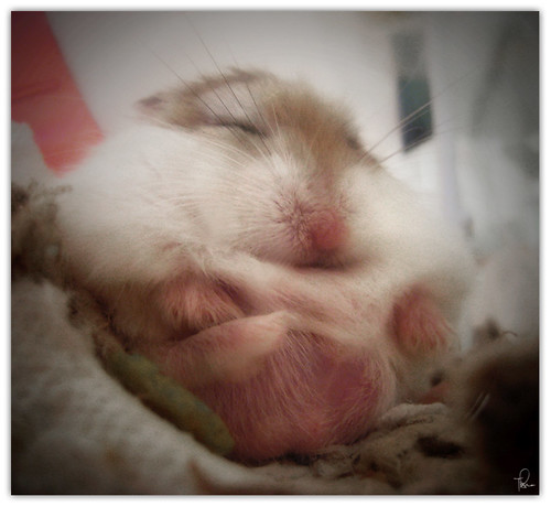 1000+ images about Robo Hamster on Pinterest