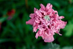 Poppy (bobo.ling) Tags: pink flower poppy 2007 phaif