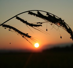 Sunset on a Rice Spike and  a Spider (! .  Angela Lobefaro . !) Tags: trip travel italien sunset vacation fab sky italy nature field leaves landscape countryside spider interestingness bravo italia rice action quality patterns arachnid country feld himmel bleu explore campagna piemonte ciel cielo nubes chateau ricefield schloss frontpage idyllic piedmont castillo chateaux allrightsreserved burg coucherdesoleil 2007 arthropod vercelli 278 308 weizen risaie aracnidi supershot magicdonkey explored i500 cesvi natuzzi xti carisio nouages abigfave artropodi superaplus aplusphoto angiereal infinestyle visitpiedmont ysplix hokidachi angelalobefaro angelamlobefaro wwwcesviorg 7556652 angelamarialobefaro massimilianogreco