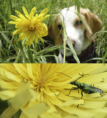 Flower Beetle + Flower Beagle (Vanilla Monkey Bear) Tags: flower beagle nature spring lemon