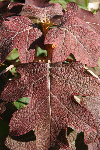 Burgundy leaves of Oak leaf Hydrangea - Hydrangea quercifolia