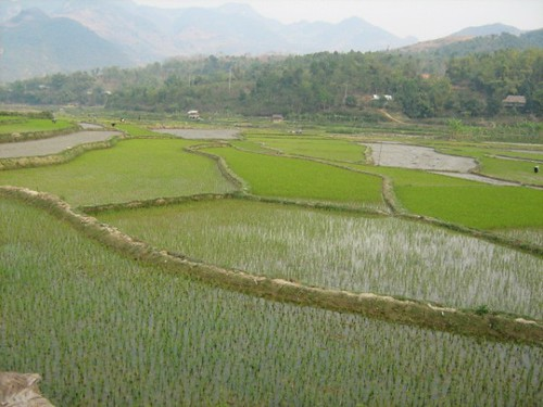 Rice fields, Tuan Giao, Vietnam