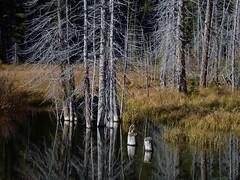 MY FAVORITE BOG (NUZZ369) Tags: canada water kananaskis pond alberta marsh bog slough spruce