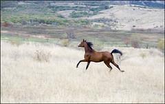 Free (White Bear) Tags: horses horse animal animals canon eos russia 5d arabian equestrian equine ussr россия лошадь русский конь кони лошади русские российская россии российской