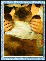 Con mi vestidito azul otra vez (aunqtunolosepas) Tags: blue pet cats pets cute fashion animal animals azul shirt cat hug kitten funny bea dress sweet adorable kitty gatos cutie gato kitties missy gata felinos felino animales bella lovely cuteness wink mascota mascotas abrazo vestido gatita gatas cc300 vestidito abigfave isawyoufirst aunqtunolosepas hugyourcat camiste