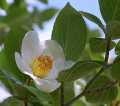Stewartia pseudo-camellia (autan) Tags: wild flower tree japan camellia wildflower pseudo natsutsubaki  ilovethistree stewrtia   dsc5282c