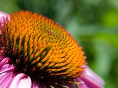 Cone Flower (leesure) Tags: orange flower color purple echinacea bokeh coneflower spikes morrisarboretum leeshelly
