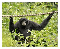 """What are you looking at?"" (HaukeSteinberg.com) Tags: ireland dublin zoo eyecontact sigma explore staring gibbon 70300 dublinzoo specanimal animalkingdomelite"