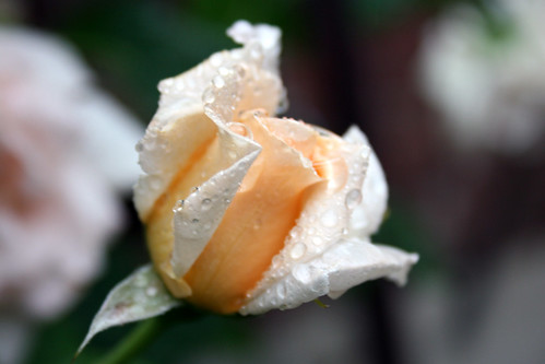 Breath of Life rose bud