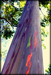 Rainbow Tree (diane_l) Tags: tree hawaii amazing colorful maui bark roadtohana rainbowtree