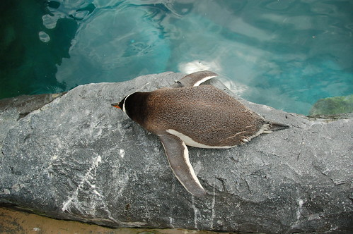 Sleeping penguin