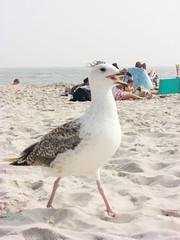 seagull @ robert moses