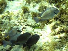 Surgeonfish (Tad 20D) Tags: ocean fish animal underwater wildlife caribbean aquatic reef coralreef marinelife aquaticlife underwaterphotography surgeonfish androsislandbahamas