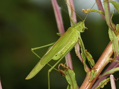 Sickle-bearing Bush-cricket - Phaneroptera falcata