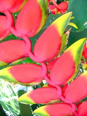 Helicnia (Eli K Hayasaka) Tags: flowers brazil flores flower macro nature brasil sopaulo natureza flor sampa naturesfinest hayasaka diamondclassphotographer flickrdiamond colourartaward artlegacy elikhayasaka