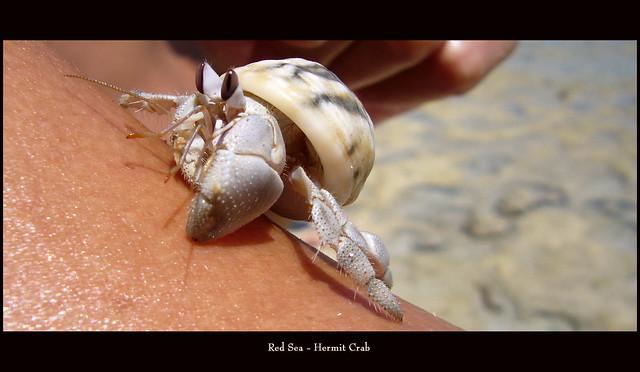 hermit crab - paguro