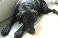 "Unsere Labradorhndin ""Leia"" (www.insekten.q27.de) Tags: dog black cool nice labrador hund schwarz laia schn brav"